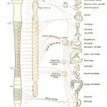 Spine vs. Organs